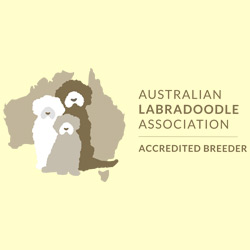 Australian Labradoodle Accredited Breeder