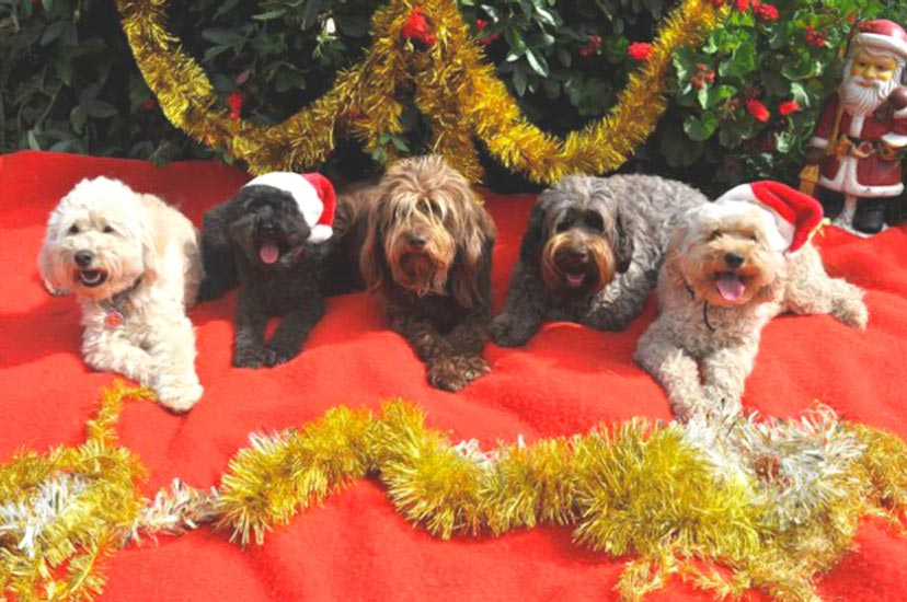 Merry Christmas 2009 From Kirkton Australian Labradoodles