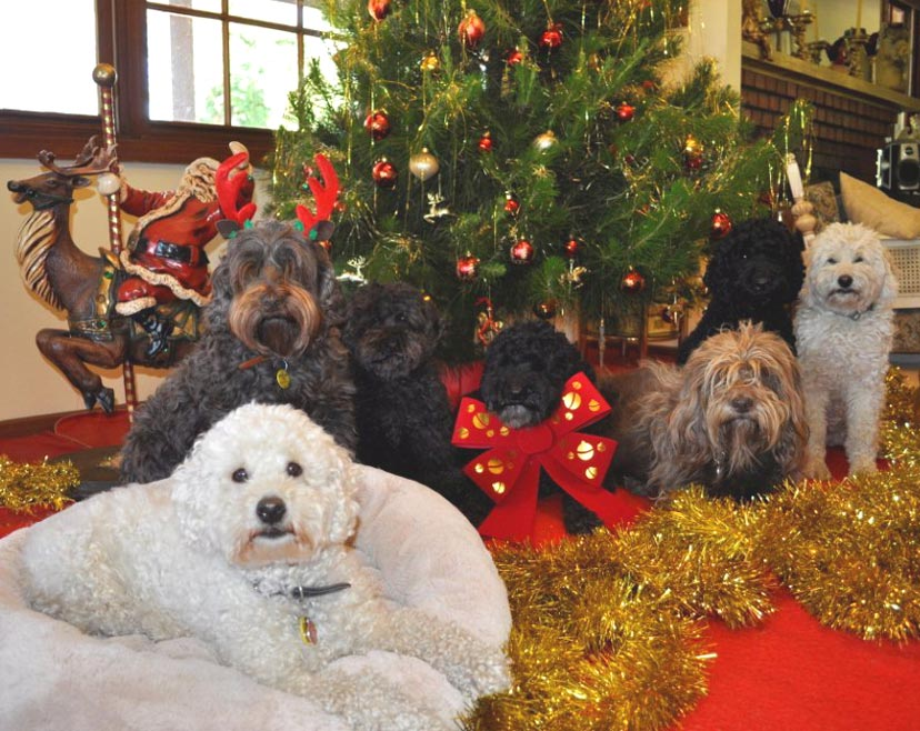 Merry Christmas 2011 From Kirkton Australian Labradoodles