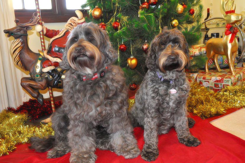 Merry Christmas 2012 From Kirkton Australian Labradoodles