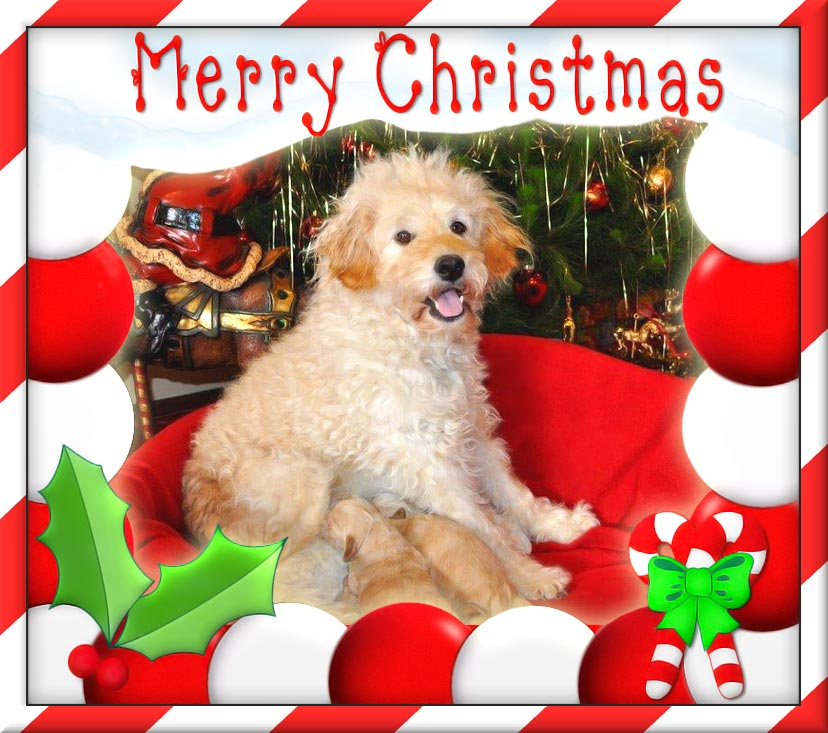 Merry Christmas 2013 From Kirkton Australian Labradoodles