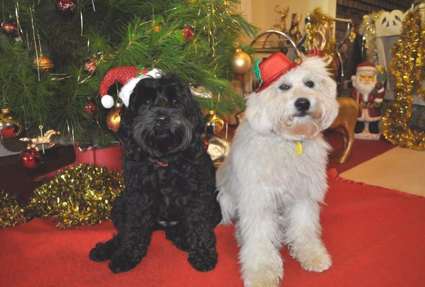 Merry Christmas 2014 From Kirkton Australian Labradoodles