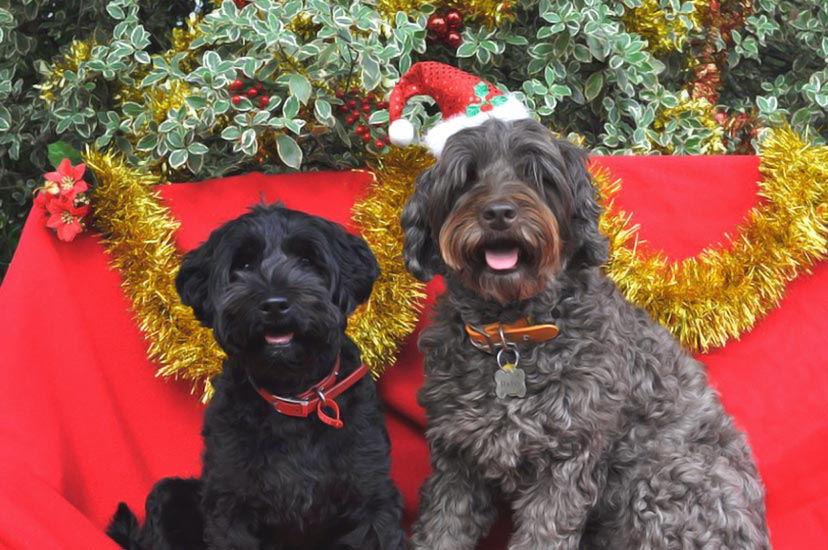 Merry Christmas 2015 From Kirkton Australian Labradoodles