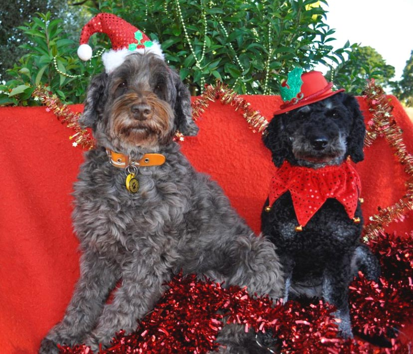 Merry Christmas 2016 From Kirkton Australian Labradoodles