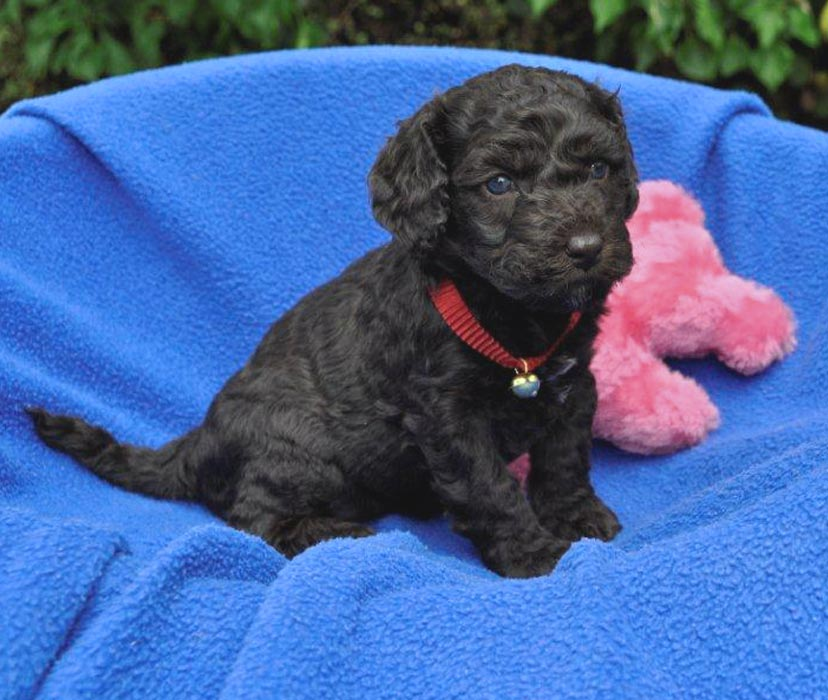 Kirkton's Beth/Coco Puppy Photos