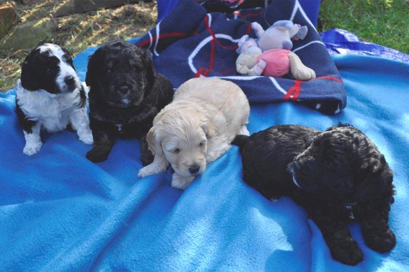 Kirkton's Kelly Penny Puppy Photos